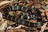 Stephens' Banded Snake (Hoplocephalus stephensii) (Jules Farquhar.) Tags: elapidae elapid snake venomous proteroglyphous squamate nsw midnorthcoast australianreptiles herpetofauna julesfarquhar stephensbandedsnake hoplocephalusstephensii