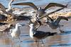 Surrounded... (JOAO DE BARROS) Tags: barros joão nature bird seagull