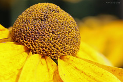 Flowers 91017 (12) (maerlyn8) Tags: canon macro 2017 september 100mm garden closeup pollen center dome yellow colorful nature flora flower plant