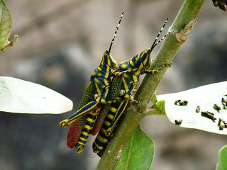 Painted Grasshopper (Indian) - coupling - in my backyard