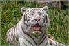 _DSC3567-Modifier (claude.chilot) Tags: pairidaiza tigreblanc