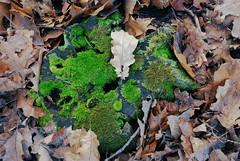 DSC_1880 (FMAG) Tags: 2017 żabieniec zalesie jesien leaves tree forest autumn