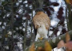 Meet Sid the Sparrowhawk - Our resident raptor (Ann and Chris) Tags: sparrowhawk garden raptor hawk tree bird avian wildlife wild nature