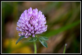 IMG_0013 Clover Flower