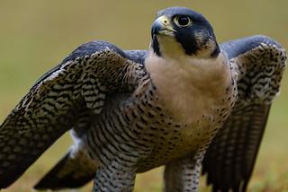 Peregrine Falcon - 1