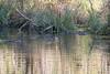 Ragondins (Myocastor coypus) (aurelien.ebel) Tags: alsace animal basrhin coypu france lawantzenau mammalia mammals mammifère myocastorcoypus myocastoridae myocastoridé ragondin rodentia rongeur