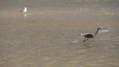 DSC04897 (Matthew283) Tags: bolvar wildlife 11182017 reddish egret