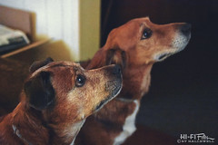 Full Attention (Hi-Fi Fotos) Tags: dogs pups rocco hogan rocket hoagie boys sit attention patient treat fur babies focus stare nikkor 40mm micro 28 nikon d7200 dx hififotos hallewell pets cousing family