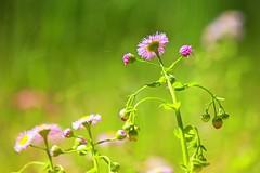 Fleabane field (elenashen5) Tags: weed wildflower
