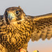 Falcon training in the desert near Dubai