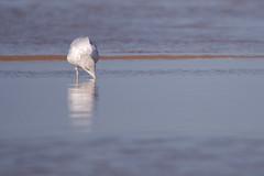 Goeland argenté-0007 (philph0t0) Tags: goélandargenté larusargentatus europeanherringgull goéland argenté larus argentatus european herring gull seagull bird oiseau beach plage sea mer