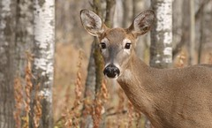 I'm all ears (Kim's Pics :)) Tags: deer animal mammal beautiful female wideeyed alert ears sweet curious forest trees autumn nature reserve camouflage winnipeg manitoba canada fortwhytealive wild outdoors doe sunrays5