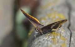 Charaxes jasius, _DSC2908 (Francesc //*//) Tags: insecte papallona mariposa butterfly papallonadelarboç charaxesjasius twotailedpasha foxyemperor nymphaledelarbousier mariposadelmadroño