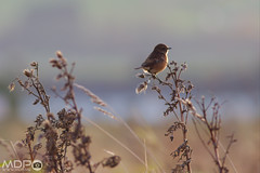 Stonechat (mikepeters) Tags: birds beach coast sea stonechat backlit perch nature