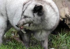 arctic fox blijdorp BB2A1179 (j.a.kok) Tags: vos fox poolvos noordpool northpole arcticfox arctic animal mammal zoogdier dier predator blijdorp vulpes