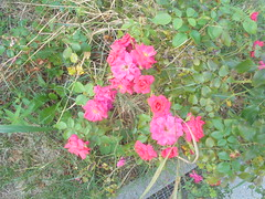 072 (en-ri) Tags: roselline little roses sony sonysti aiuola erba grass verde