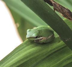 All tucked up...Litoria fallax - Eastern Sedge Frog...3.5cm (Anni - with camera - off and on) Tags: litoriafallax easternsedgefrog queensland australia orchid green yellow brisbane inmygarden abigfave