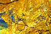 WONDERFUL AUTUMN LEAVES (GA High Quality Photography) Tags: autumn nature natural amazing art attractive leaves awesome beautiful beauty best bokeh color colour colors colours colourful cool europe fabulous fantastic field fine fotografia fun garden park gorgeous image interest landscape light lighting new nice nikon nikkor outdoor red serene splendid stunning winter fall sun sunny trees uk london