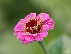 Zinnia (LuckyMeyer) Tags: rosa pink green garden summer zinnie blume plant floer fleur makro blüte