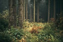 Mystical (desomnis) Tags: naturephotography nature forest woods woodland trees wood autumn 35mm sigma35mm sigma35mmf14dghsmart sigma35mmf14art sigma35mmf14 desomnis green greenforest mühlviertel austria upperaustria oberösterreich österreich böhmerwald bohemianforest