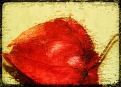 Lampion (Tanja-Milfoil) Tags: orange lampe china november 251117 zierpflanze flower 5300 nahaufnahme closeup closer tanja nikon artists kunsteffekte kunst art blume milfoil lampionblume lampion