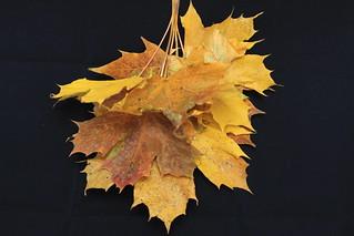 Autumnal Leaves (46/52)