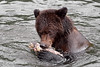 End of the Line (Spectacle Photography) Tags: grizzly grizzlybear ursusarctos salmonrun salmon tweedsmuir provincialpark bellacoola britishcolumbia canada westerncanada northamerica