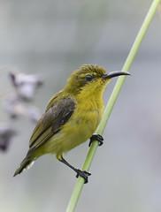 Juvenile olive-backed sunbird (Robert-Ang) Tags: sunbird olivebackedsunbird cinnyrisjugularis animalplanet chinesegarden singapore animal wildlife