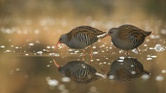 Water rails (cazalegg) Tags: water waders birds river rail wildlife nature nikon scotland