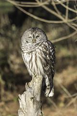 Owl (Amber Langhus Photography) Tags: barredowl owl iowa