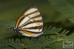 Arawacus separata ( BlezSP) Tags: peru rainforest madrededios puertomaldonado faunaforever butterflies lycaenidae