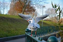 Hocus-pocus (Caulker) Tags: gulls wings aberford park trees sky november 2017