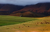 How Green was my Valley (Ohan Smit) Tags: lines z for zorro greyton greenfields green grass cows nikond800 nikkor2470mm ohansmit ohansmitphotography natural nature golden photography photoshop clouds