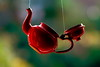 The red teapot (3) (Phancurio) Tags: contrejour suspension window red teapot