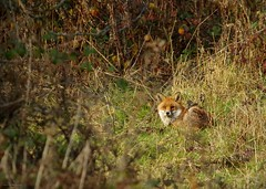 Urban red fox Autumn field 2017 (4) (Simon Dell Photography) Tags: red fox vulpes animal nature wild wildlife yorkshire sheffield uk shirebrook valley hackenthorpe sheff s12 s13 simon dell photography dec 2017 wintaer autumn fall colors seasonal christmas time pose sitting looking me eyes detail close up
