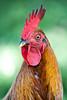 Cedric the Cock (Dave Denby) Tags: chicken cock cockerel male bird fowl