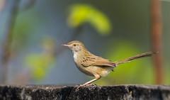 paddy field pipit bird (ahmedezaz76) Tags: paddy field pipit bird wild wildbird natural outdoor bangladesh wildlife animal beauty