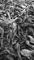 After (David Ian Ross) Tags: rusty orange crispy leaves horse chestnut autumn