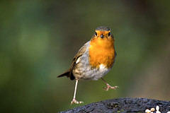 Bobbin Robin (R.J.Boyd) Tags: birds flight wildlife avian feathers heaton park robin red breast