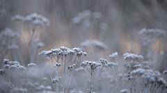 En attendant des jours meilleurs *----+ (Titole) Tags: tanaisies frost frosted titole nicolefaton sunrise cold shallowdof 15challengeswinner