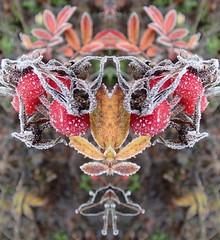 (Michiel Thomas) Tags: winter hoarfrost abigfave rijp rozebottels rozenbottels rosehips rose hips hip interesting most