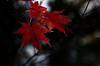 Sapporo 104 (HAKUDO Photography) Tags: momiji japan japon hokkaido sapporo leaf kai red rouge pentax 55mm