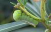 army green moth (praveen.ap) Tags: nature animalplanet ngc army green moth armygreenmoth oleander hawkmoth oleanderhawkmoth daphnis nerii daphnisnerii