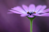A daisy from September (Funchye) Tags: daisy osteospermum flower blomst nikon d610 105mm