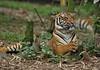 2010_ac_Proud and dignified Sumatra tiger (Wellsman2010) Tags: tiger sumatra 70300 canon 5d mkii wildlife greenpeace asian asia kuala lumpur zoo
