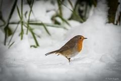 Robin (Photography - KG's) Tags: bird birds animals wildlife snow robin nature