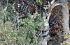 Koala in Maremma (Jambo Jambo) Tags: parcoregionaledellamaremma uccellina montidelluccellina grosseto marinadalberese maremma toscana tuscany italia italy jambojambo nikond5000 sonydscrx100 macchiamediterranea mediterraneanbrushwood