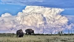 Bison Country (CTfotomagik) Tags: animal bison buffalo grass field plains clouds colorado rmanwr wildlife birds sky brilliance landscape nature rockymountainarsenal nikon 70300mm ngc