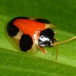 Tortoise beetle, Spilophora cuneata thumbnail