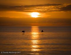 Barefoot Beach Sunset (Oculus Dei) Tags: barefootbeach bonitasprings florida gulfofmexico nikon nikond7100 bird sunset